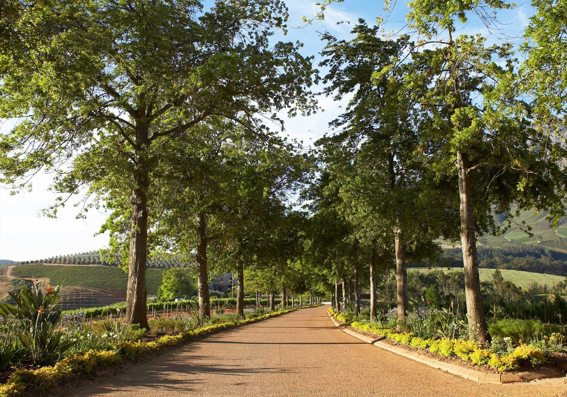 The tree-lined driveway into Delaire Graff Estate
