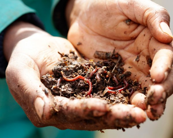 Earth worms in the palms of a gardener's hands at Delaire Graff Estate
